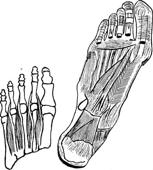 Line drawings of foot bones and muscles